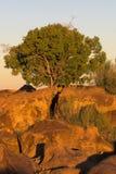 acaciatree royaltyfria foton