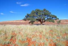 Acaciatree Royaltyfri Foto