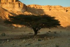 acaciatree Royaltyfri Fotografi