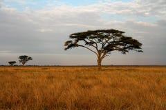Acaciatrees och den afrikanska savannahen Arkivbilder