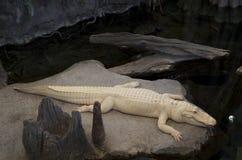Academia de California del cocodrilo de ciencias Foto de archivo