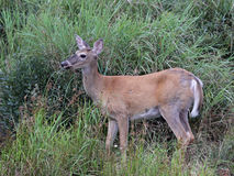 Acadia White-tailed Deer. A White-tailed Deer (Odocoileus virginianus) sitting amongst some weeds.  Shot in Acadia National Park, Maine, USA Royalty Free Stock Photos