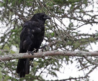 Acadian Crow Stock Photo