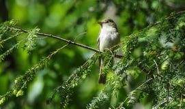 Acadian Flycatcher Empidonax virescens Fotografia Royalty Free