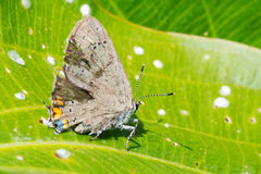 Acadian Hairstreak Butterfly Royalty Free Stock Images