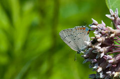 Acadian Hairstreak. On a wildflower stock images