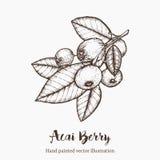 Acai莓果 有机超级食品成分 传染媒介手图画剪影例证 库存照片