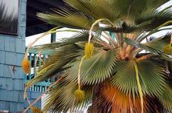 Acai al lado de la pared del bluew en la ciudad de Kona Imagen de archivo libre de regalías