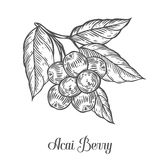 Acai berry, fruit, leaf, plant branch. Superfood organic asian berry. Hand drawn vector sketch engraved illustration. Black acai berry  on white background Royalty Free Stock Photos
