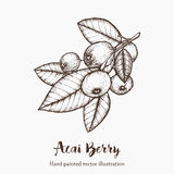 Acai berry. Organic super food ingredient. Vector hand drawing sketch illustration Stock Photos