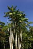 Acai palm against blue sky Royalty Free Stock Photography