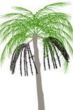Acai palm tree (Euterpe oleracea) - illustration Stock Photography