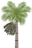 Acai palm tree (Euterpe oleracea) -  illustration Royalty Free Stock Photography