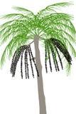 Acai palmträd (Euterpeoleraceaen) - illustration Arkivbild