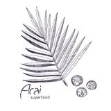 Acai plant hand drawn sketch. Royalty Free Stock Photography