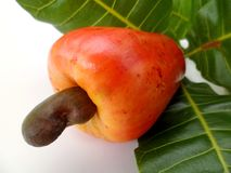 Acajoubaum (Anacardium occidentale) Lizenzfreies Stockfoto