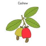 Acajoubaum Anacardium occidentale Nüsse Stockbild