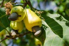 Acajoubaum auf dem Acajoubaum im natürlichen Garten Stockbilder