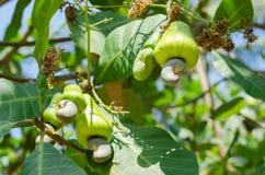 Acajoubaum auf dem Acajoubaum im natürlichen Garten Lizenzfreie Stockfotos