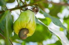 Acajoubaum auf dem Acajoubaum im natürlichen Garten Stockbild