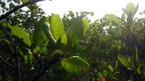 Acajoubaum-Blätter und das Sun-Licht Stockfotos