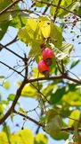 Acajoubaum-Früchte mit den Nüssen, die am Baum - Anacardium Occidentale hängen Stockfoto