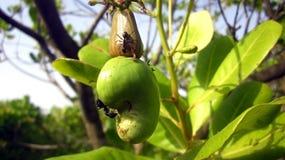 Acajoubaum-Frucht und Ameisen auf ihr Lizenzfreie Stockfotos