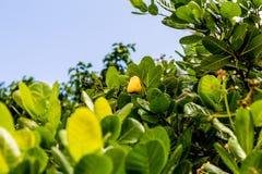 Acajoubaum im Baum Stockfoto