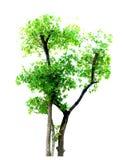 Acajoubaum lokalisiert, auf Weiß Stockfotos