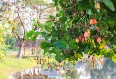 Acajoubaum mit der rohen Frucht Stockbild