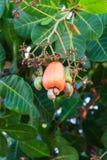 Acajoubaum mit der rohen Frucht Lizenzfreie Stockfotografie