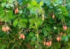 Acajoubaum mit der rohen Frucht Lizenzfreie Stockbilder