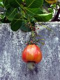 Acajoubaum reif Eine Frucht, die zwei Teile die Masse und die Nüsse hat lizenzfreie stockfotografie