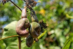 Acajoubaum wachsen heran Stockbild