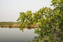 Acajoubaumblatt dieses essbare als Gemüse Lizenzfreies Stockfoto
