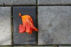 Acajoubaumblume auf dem Bürgersteig Stockfotos
