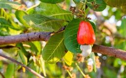 Acajoubaumfrucht auf Baum Stockfotografie