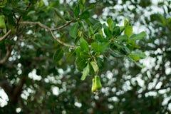 Acajoubaumfrucht auf dem Baum Lizenzfreies Stockfoto