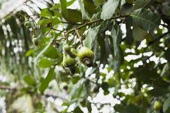 Acajoubaumfrucht auf dem Baum Stockbild