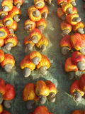 Acajoubaumfrucht und -mutter Stockbilder