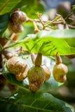 Acajounüsse, die auf Baum bei Sri Lanka wachsen Stockfotografie