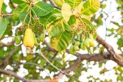 Acajounüsse, die auf Baum wachsen Stockbild