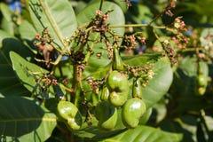 Acajounüsse, die auf einem Baum wachsen. Stockfoto