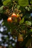 Acajounüsse, die auf einem Baum wachsen Lizenzfreie Stockbilder