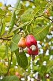 Acajounüsse, die auf einem Baum wachsen Stockfoto