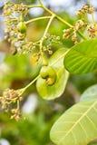 Acajounüsse, die auf einem Baum wachsen Stockfotos