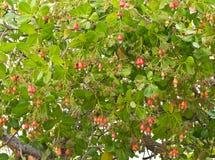 Acajounüsse, die auf einem Baum wachsen Stockbilder