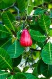 Acajounüsse, die auf einem Baum wachsen Lizenzfreies Stockbild