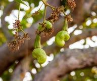 Acajounüsse, die auf einem Baum wachsen Lizenzfreies Stockfoto