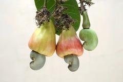 Acajounüsse zwei reiften Äpfel mit Nüssen und einer zarten Nuss Lizenzfreie Stockbilder